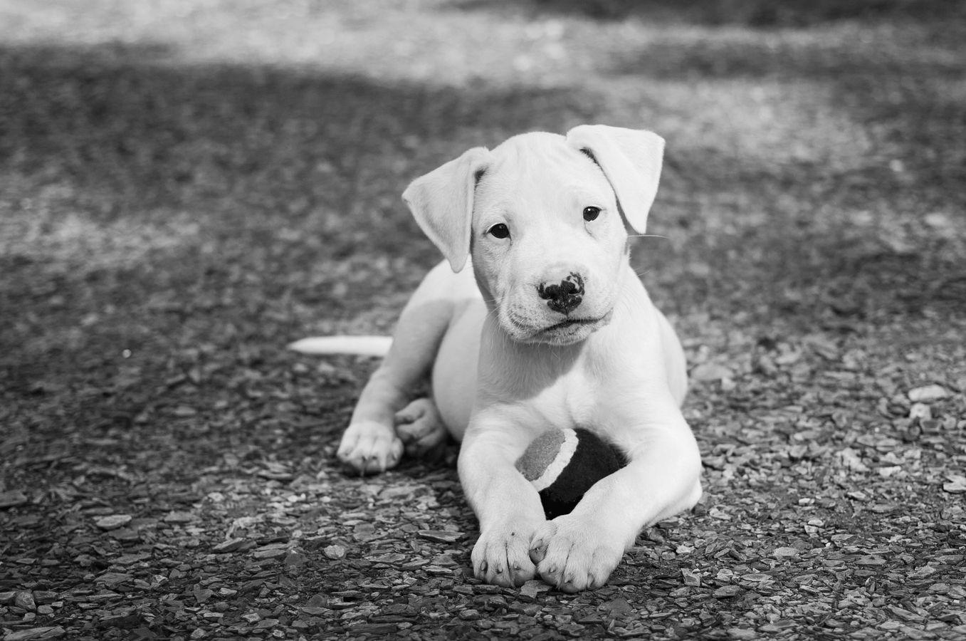 Dogo Zara Blanca 8 Weeks Old Perros Argentinos Mascotas Perros Lindos