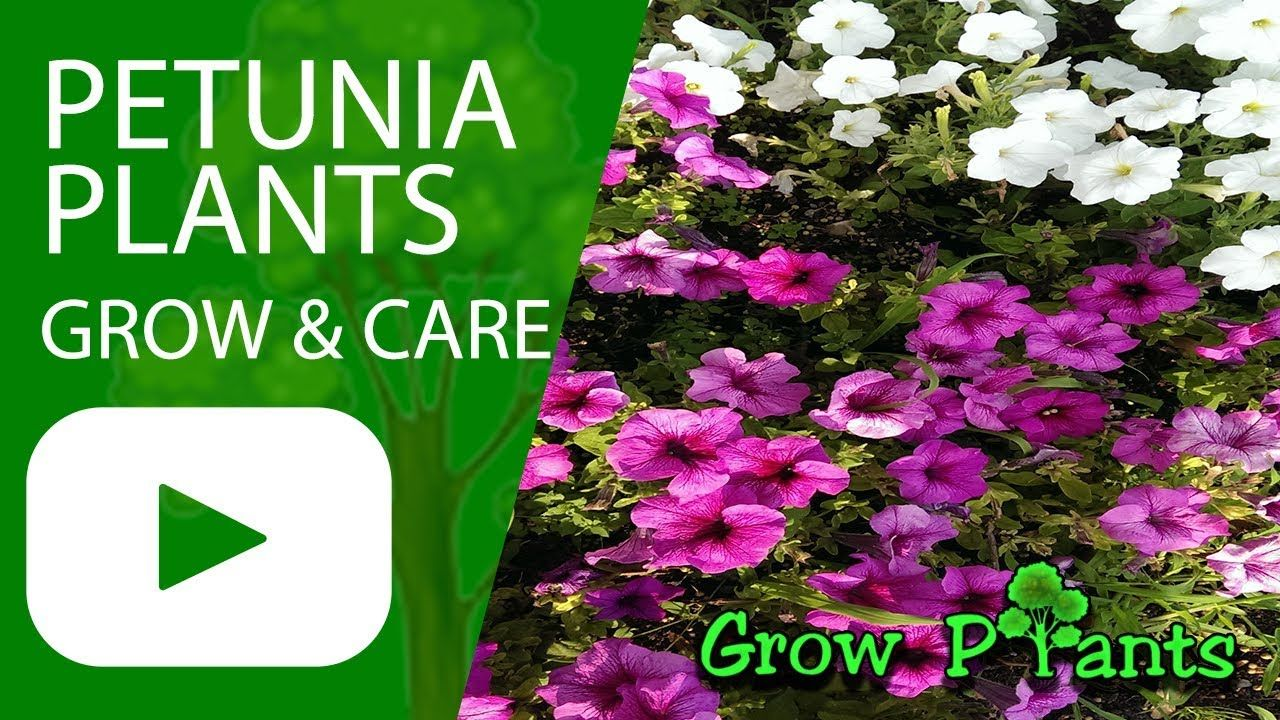 Petunia Plants Grow And Care Plant Information Climate