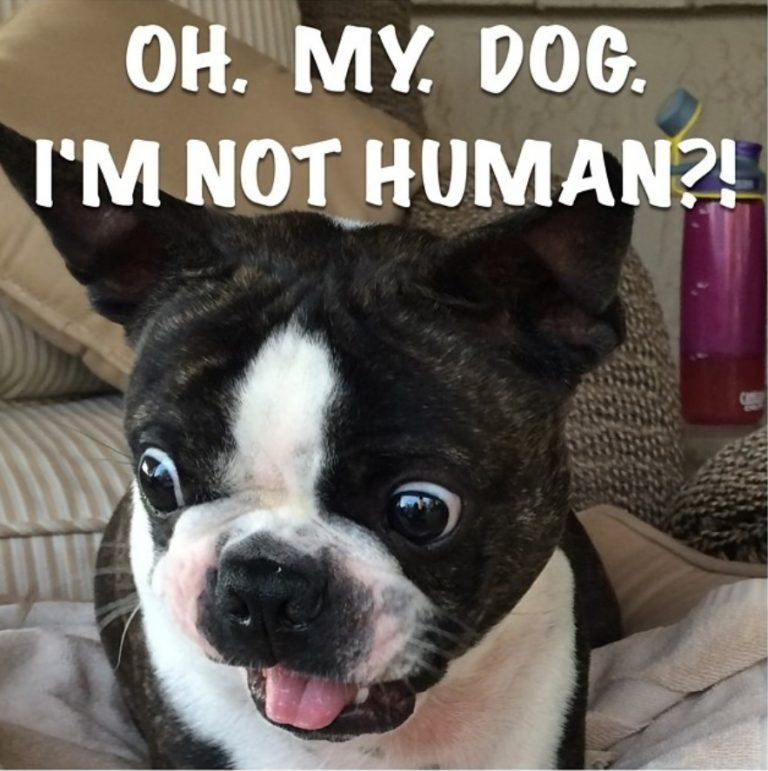 22 Of The Best Boston Terrier Dog Memes That Will Make You Smile Boston Terrier Meme Boston Terrier Funny Boston Terrier Puppy