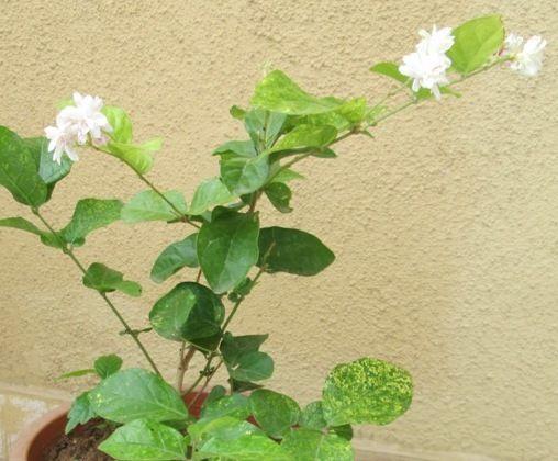 Mogra Indian Jasmine Http Www Designgreenindia Com 2013 04 Best Tips For Growing Jasmine Mogra Html Jasmine Plant Plants Air Layering