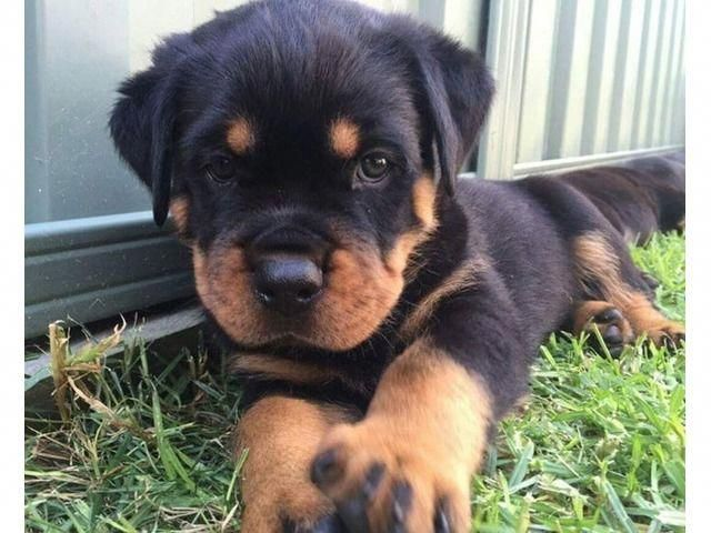 Discover The Loving Rottweiler Dog Temperament Rottweilerpuppy