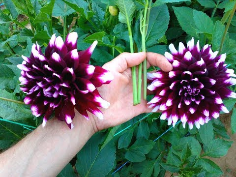 Start Growing Dahlias Part 2 Taking Cuttings Dividing Tubers The Small Garden Channel Youtube In 2020 Growing Dahlias Small Garden Dahlia