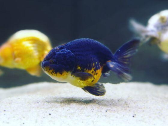 My Ranchu In A Clean Goldfish Tank Goldfish Tank Goldfish Fish Pet