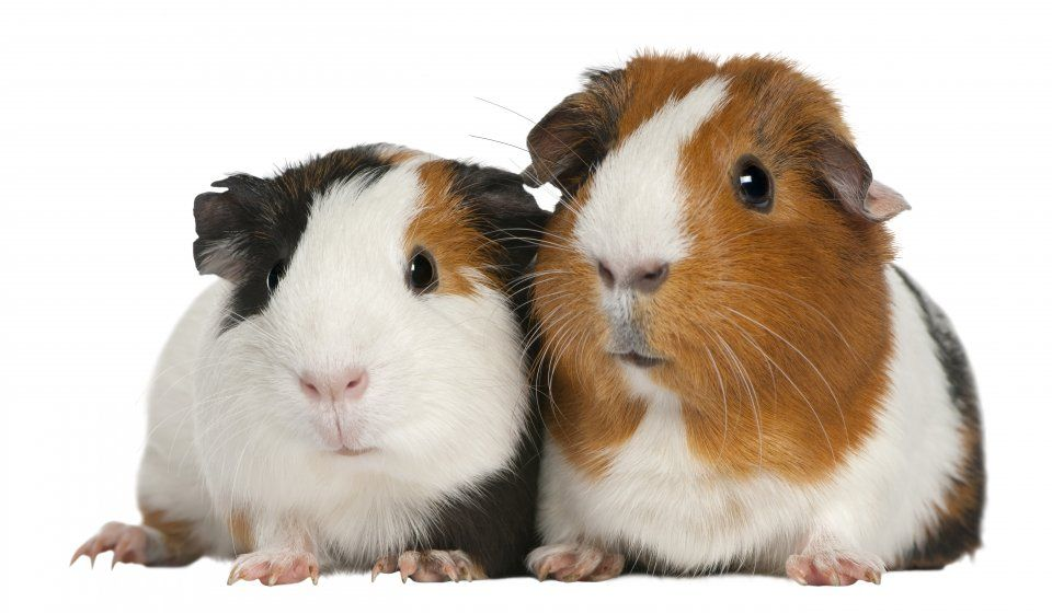 Top 12 different types of guinea pig breeds guinea pig breeding top 12 different types of guinea pig breeds sciox Gallery
