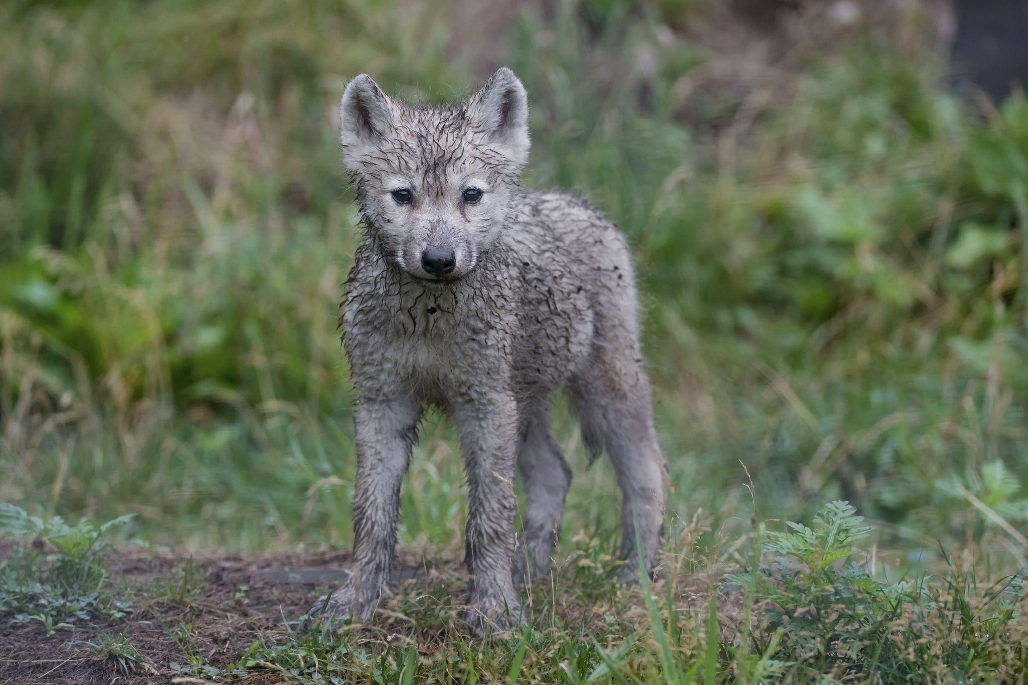 Arctic Wolf Pup Wolf Puppy Arctic Wolf Wolf Pup