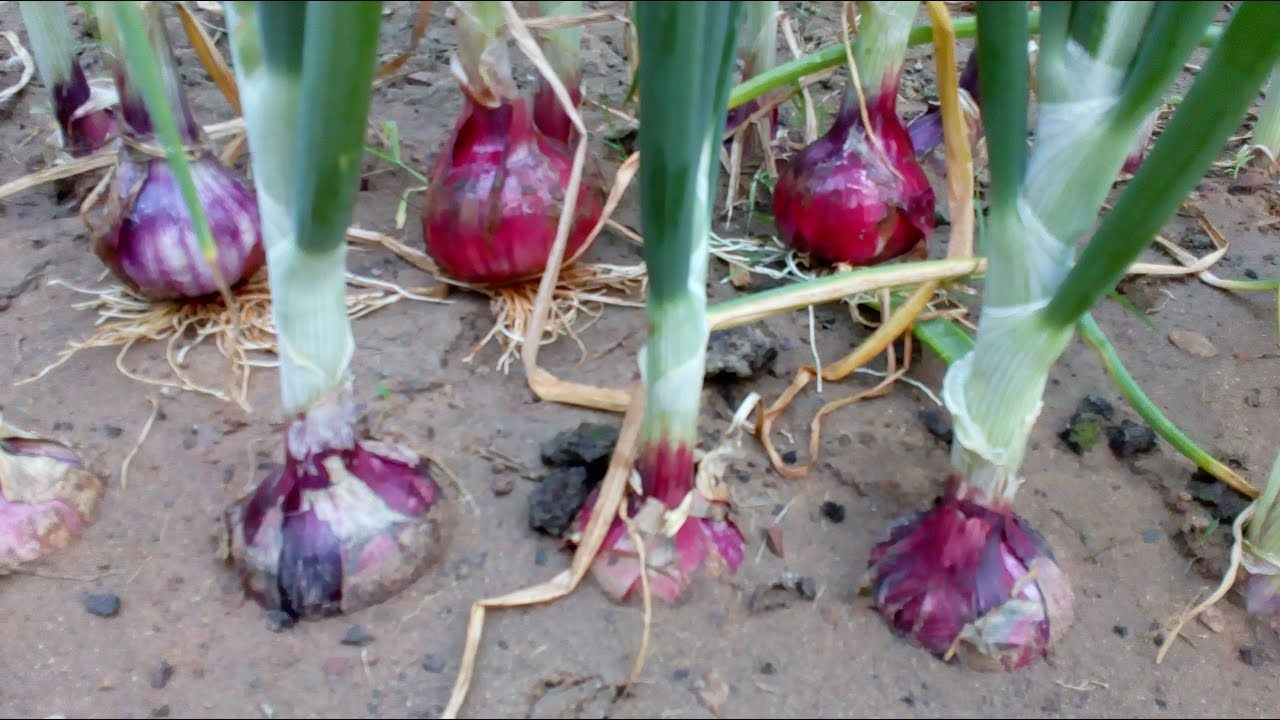 Onion life cycle (Onion farming at home), minimize effort ...