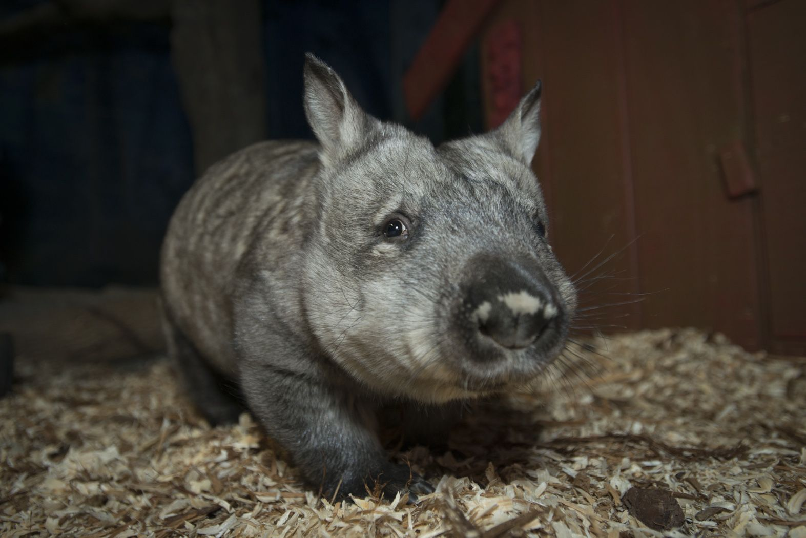 Columbus Zoo Aquarium Welcomes Its First Ever Wombat Columbus Zoo Columbus Ohio Zoo Zoo