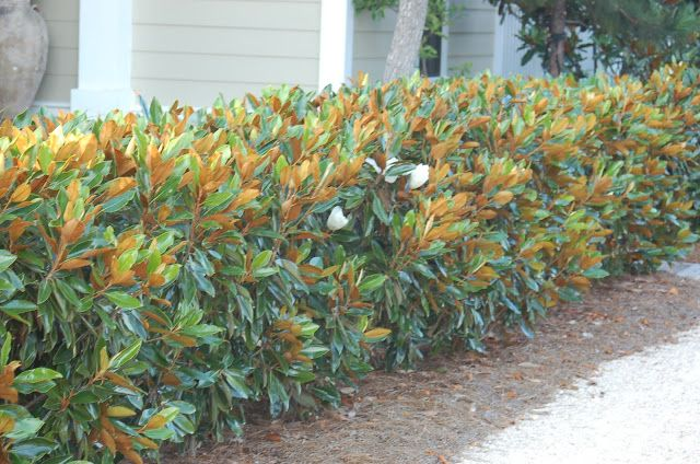 Little Gem Magnolia Hedge Hedges Landscaping Small Trees For Garden Magnolia Tree Landscaping