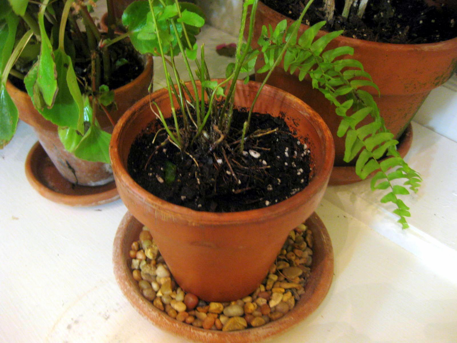 How to Divide & Conquer the Boston Fern | A Garden for the House ...
