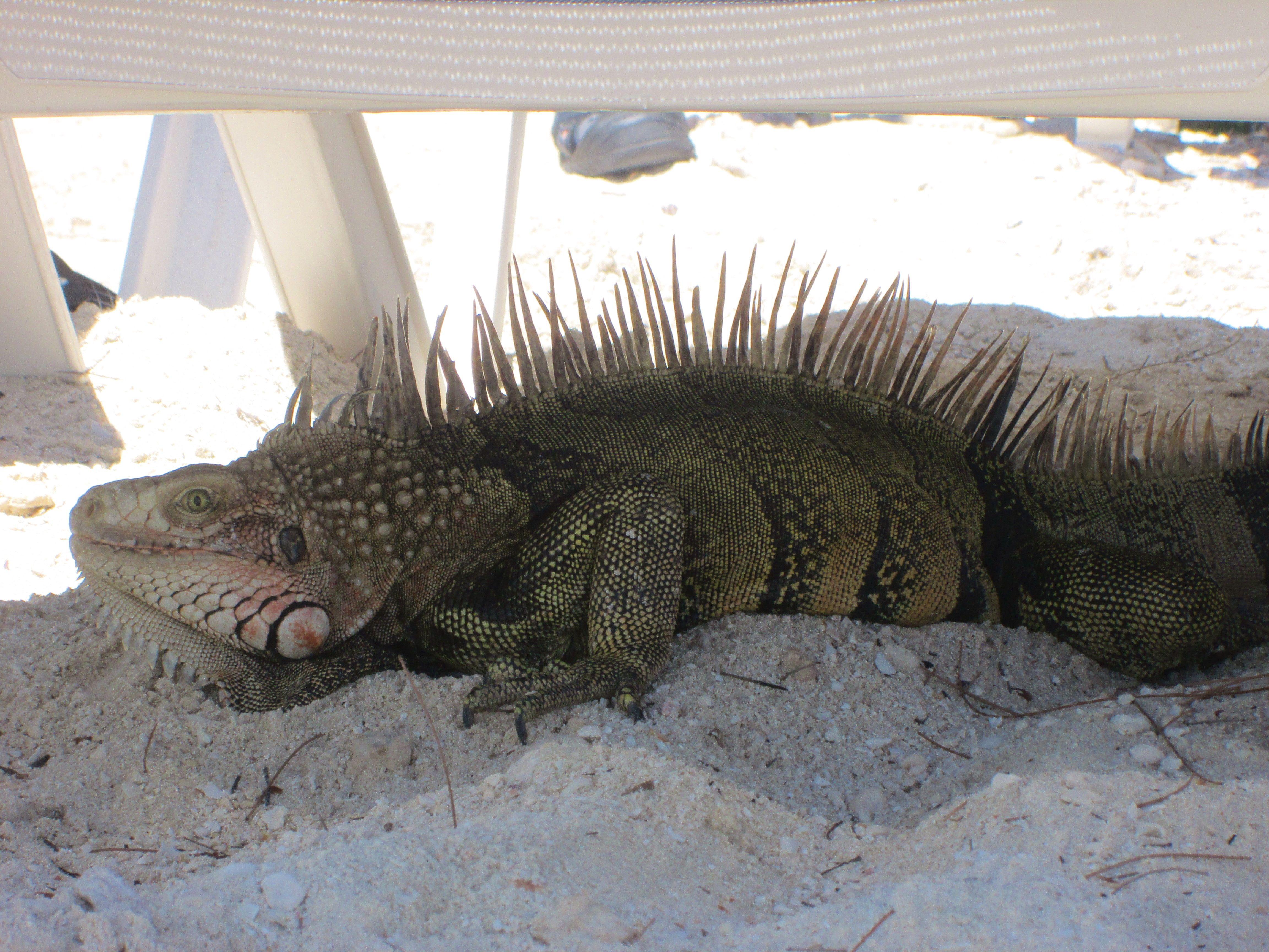 Iguana Under My Beach Chair Coco Cay Bahamas