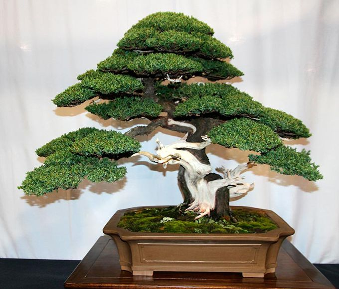 Juniper Bonsai The Finest Evergreen