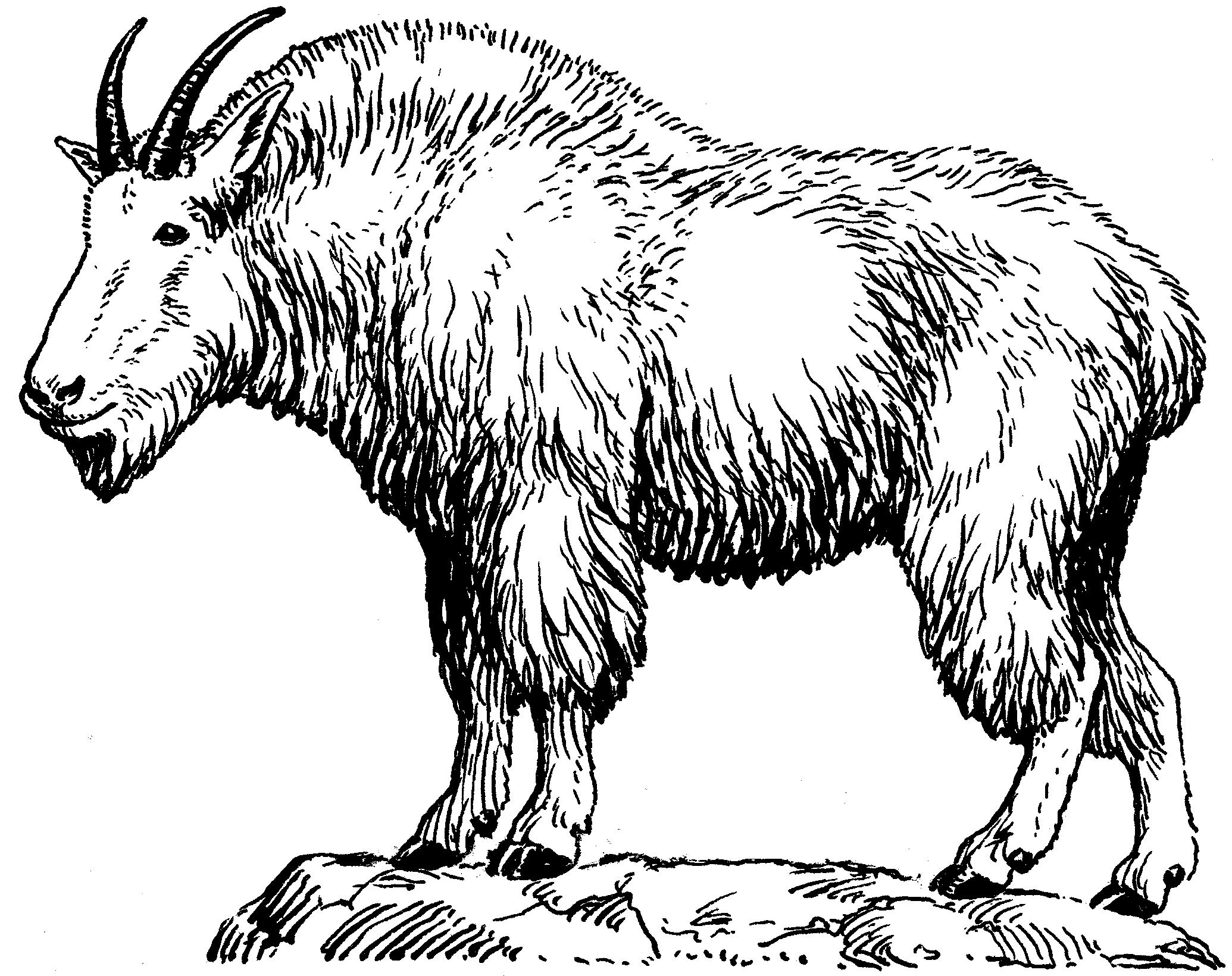 Mountain Goat Drawing | Mountain Goat Drawing mountain goat