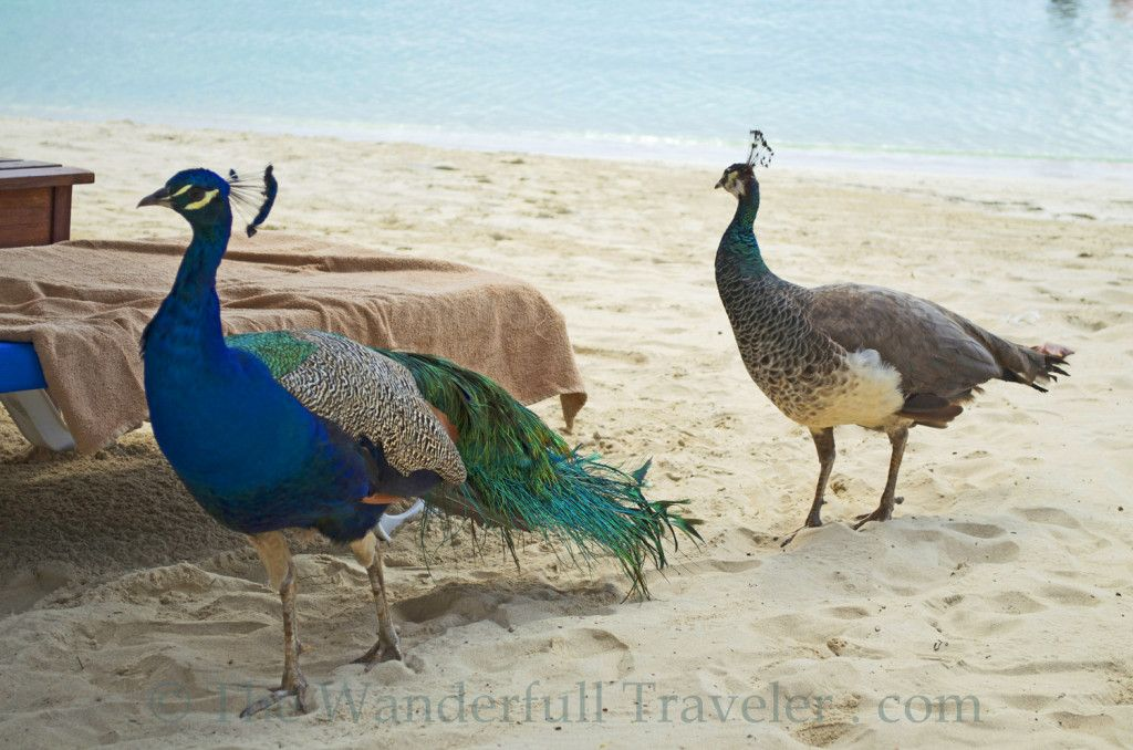 Peacocks in Jamaica