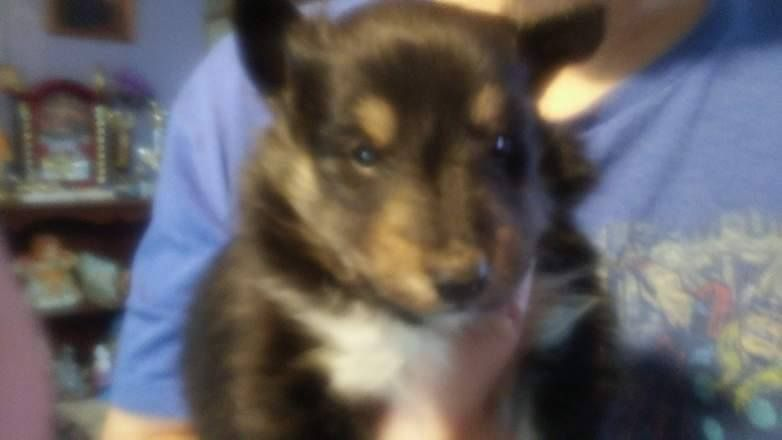 Shetland Sheepdog Puppy For Sale In Princeton Wv Adn 26639 On