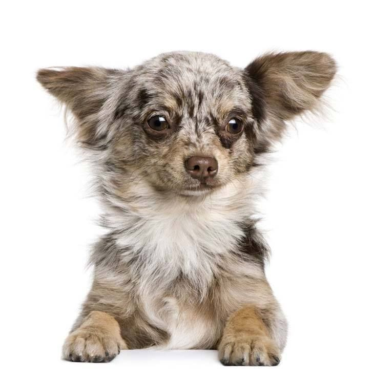 Chihuahua Names Big Names For The Little Guy Cute Chihuahua