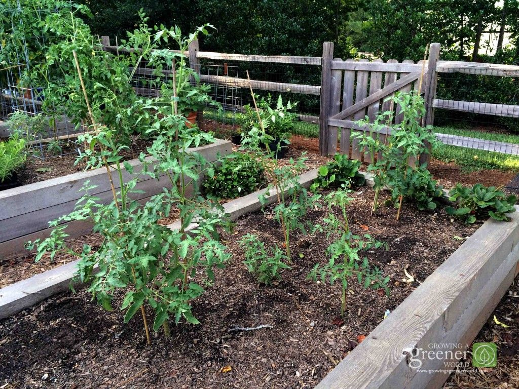 What is the best soil for tomatoes - Pruning Tomatoes Perhaps The Best Kept Secret In Making More Plants With Tomatoes Just Stick The Cuttings Into Soil And Water