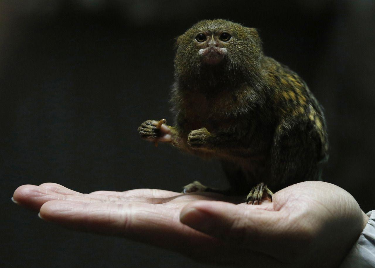 Pygmy marmoset (Cebuella pygmaea); Bobby Yip