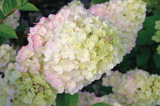 Top 10 New Plants For 2014 Gardening Basics Birds Blooms Vanilla Strawberry Hydrangea White Flowering Shrubs Strawberry Sundae Hydrangea