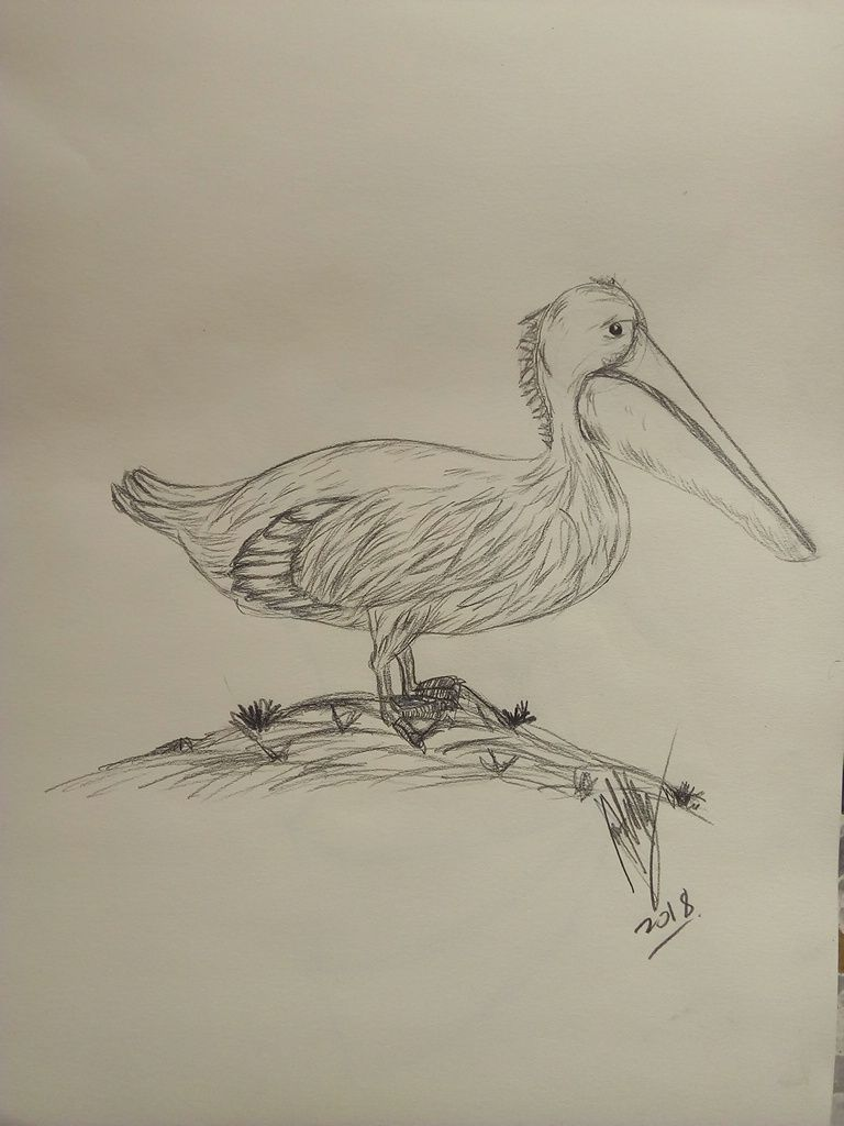 Learning to draw a pelican in stages (coloring) 47