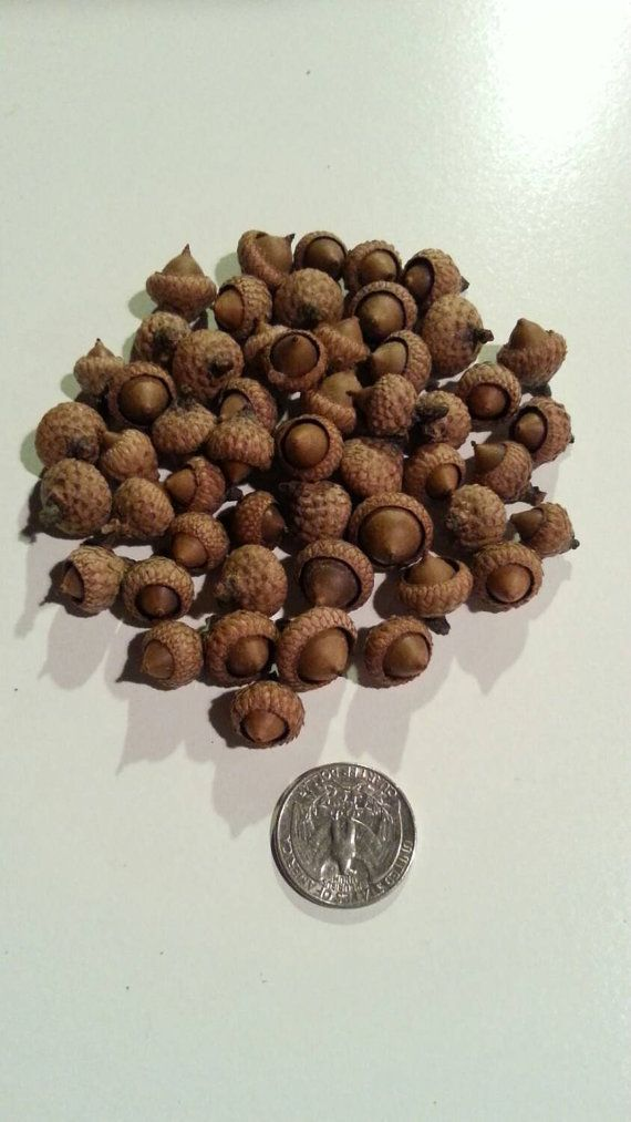 Small Acorns Qty 50 by PurpleWindCreations on Etsy