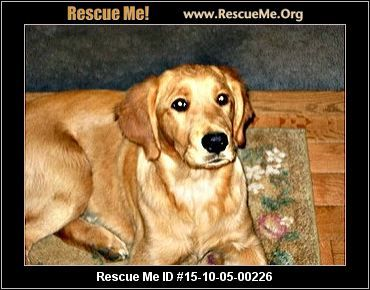 New York Golden Retriever Rescue Adoptions Rescueme Org