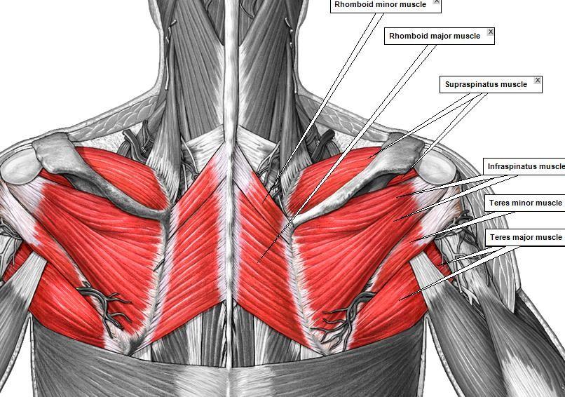 Pop-Anatomy - ADAM MUSCLES 2 | terapias manuales | Pinterest ...