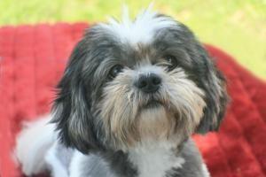 Adopt Stormy Stryker On Petfinder Shih Tzu Shih Tzu Rescue Cute Creatures