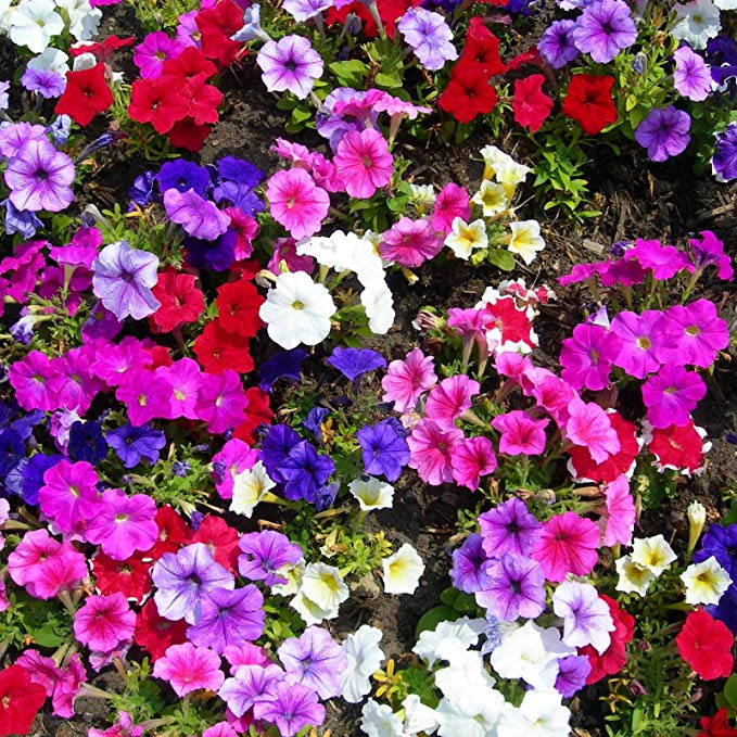 Amazon Com Petunia Madness Series Flower Garden Seed 1000 Pelleted Seeds Moonlight Mix Blooms Annual Flower Petunias Annual Flowers Calibrachoa Plant