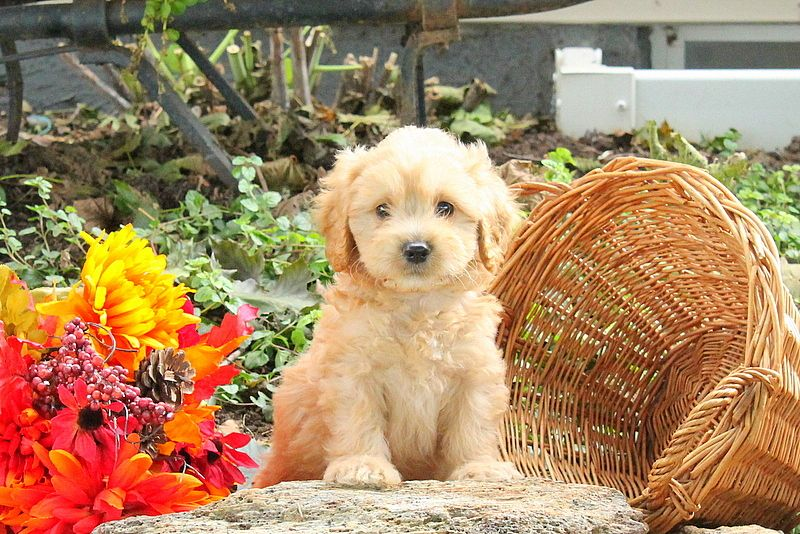 Price GoldendoodleMiniature Puppy For Sale in