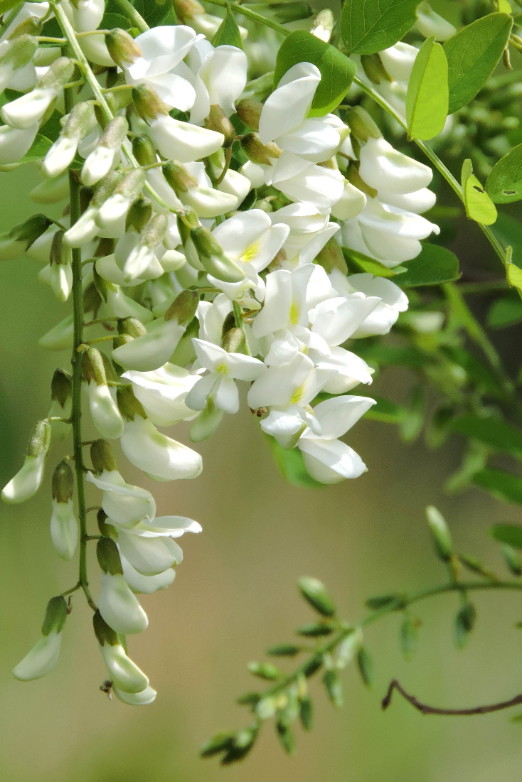 Locust Trees Are Strong And Beautiful Trees That Can Spice Up Any Landscape Beautiful And Often Fragrant Bloom Trees To Plant Fragrant Plant Flowering Trees