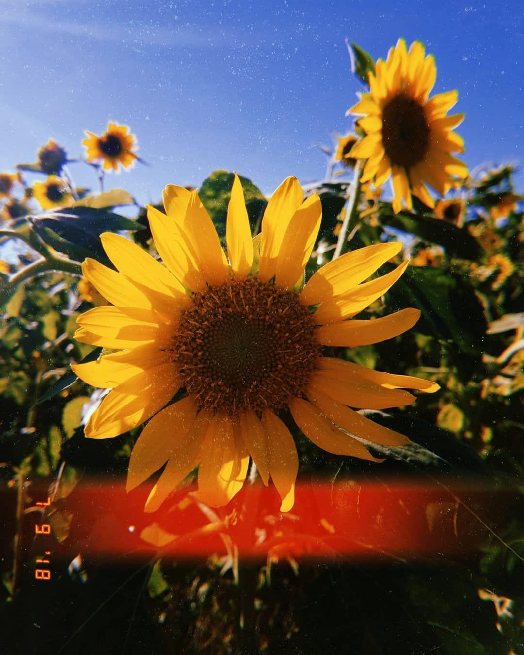 Insta Heatherlynn21 Sunflowers Flowers Huji Hujicam Cute Tumblr Wallpaper Sunflower Wallpaper Tumblr Photography