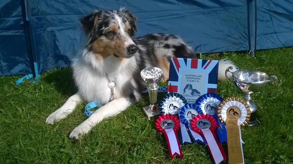 Applecreek Australian Shepherds Ascuk And Scottish Kennel Club Australian Shepherd Dog Show Doggy