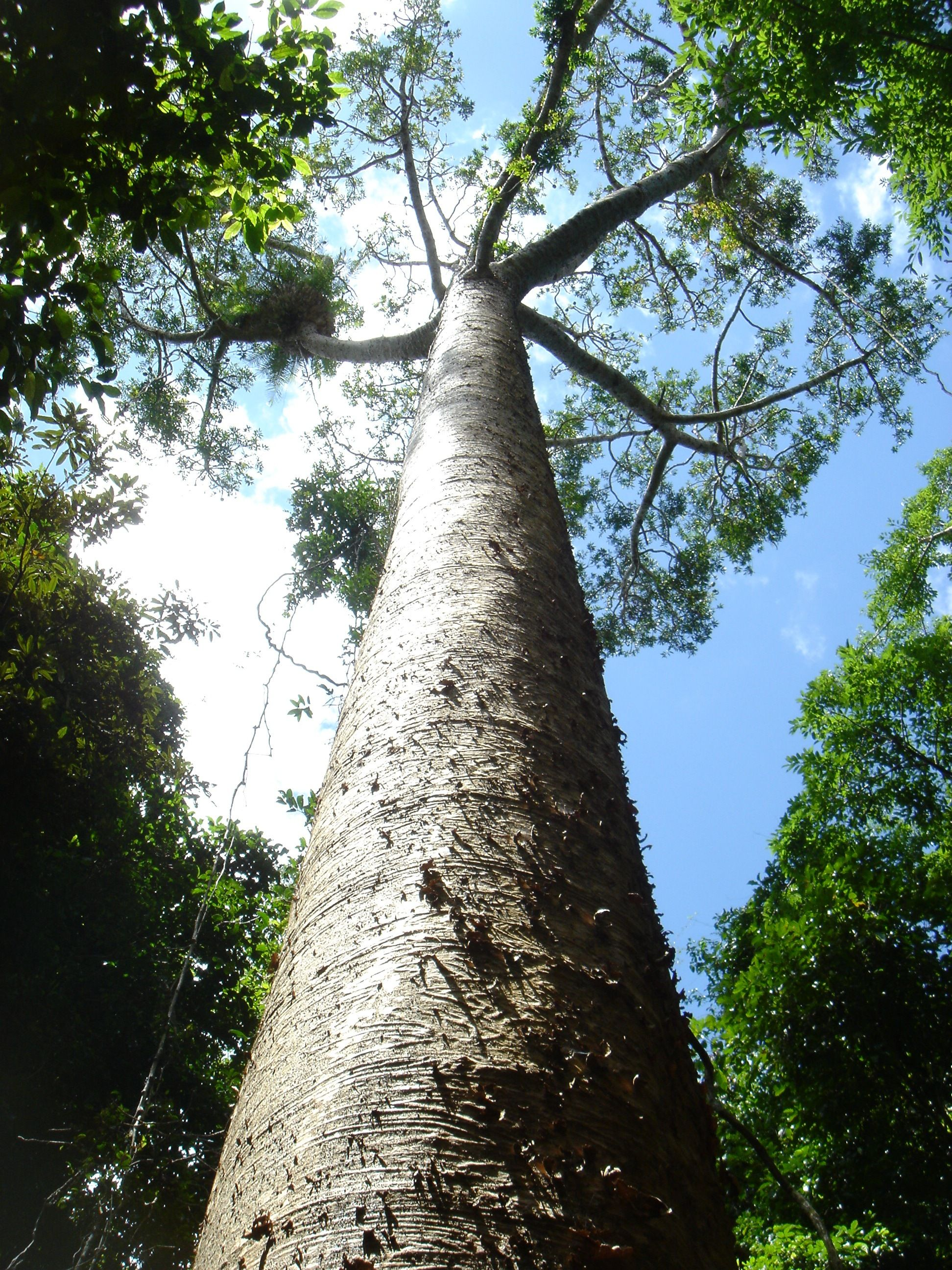 горит бенгальский каури дерево фото стэнли самый
