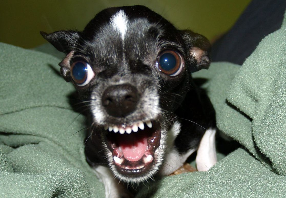 picture of a black chihuahua snarling and showing it's teeth
