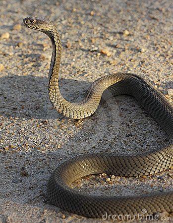 serpiente levantada - Buscar con Google