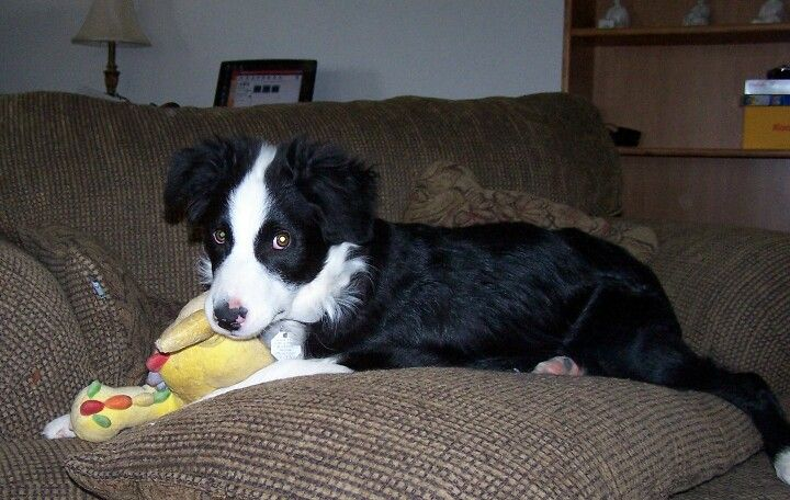 Pin On Border Collies