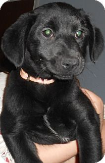 Richmond Va Labrador Retriever Mix Meet Princess Anna A Puppy