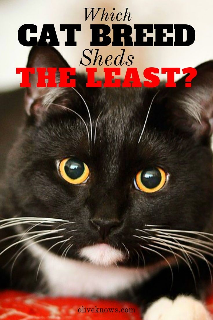 Which Cat Breed Sheds The Least? Cat breeds, Cat