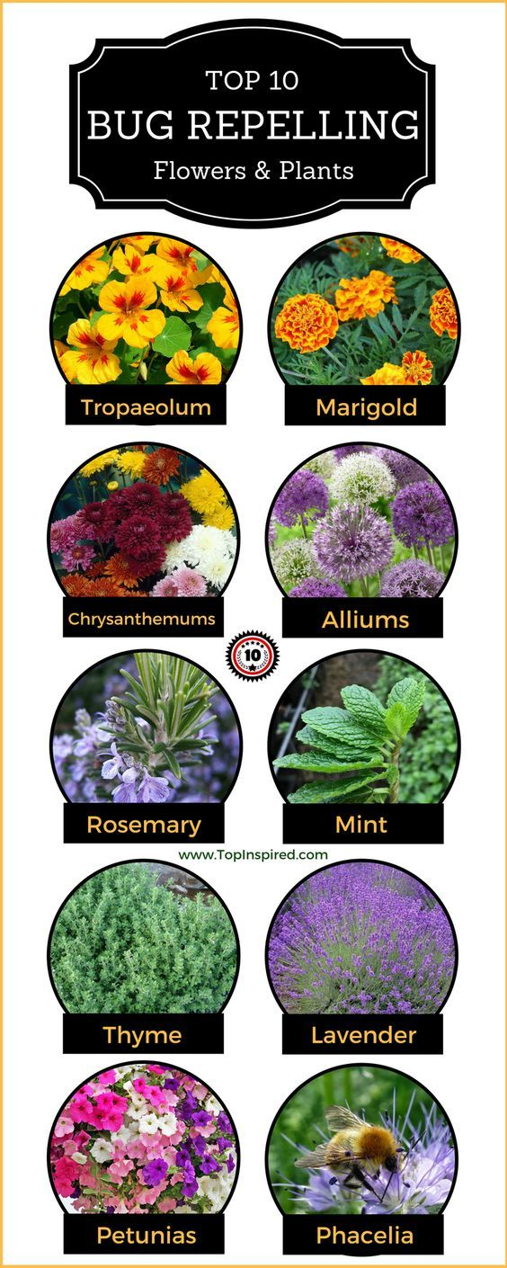 Top 10 Bug Repelling Flowers That Keep Pests Out Of Your Garden Top Inspired Garden Layout Winter Vegetables Gardening Plants That Repel Bugs