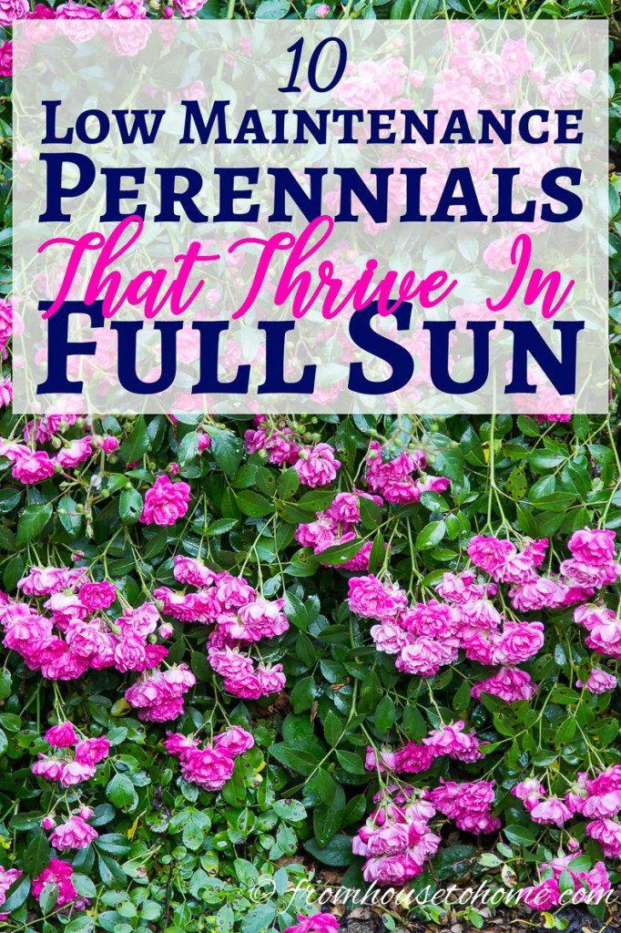 full sun perennials 10 beautiful