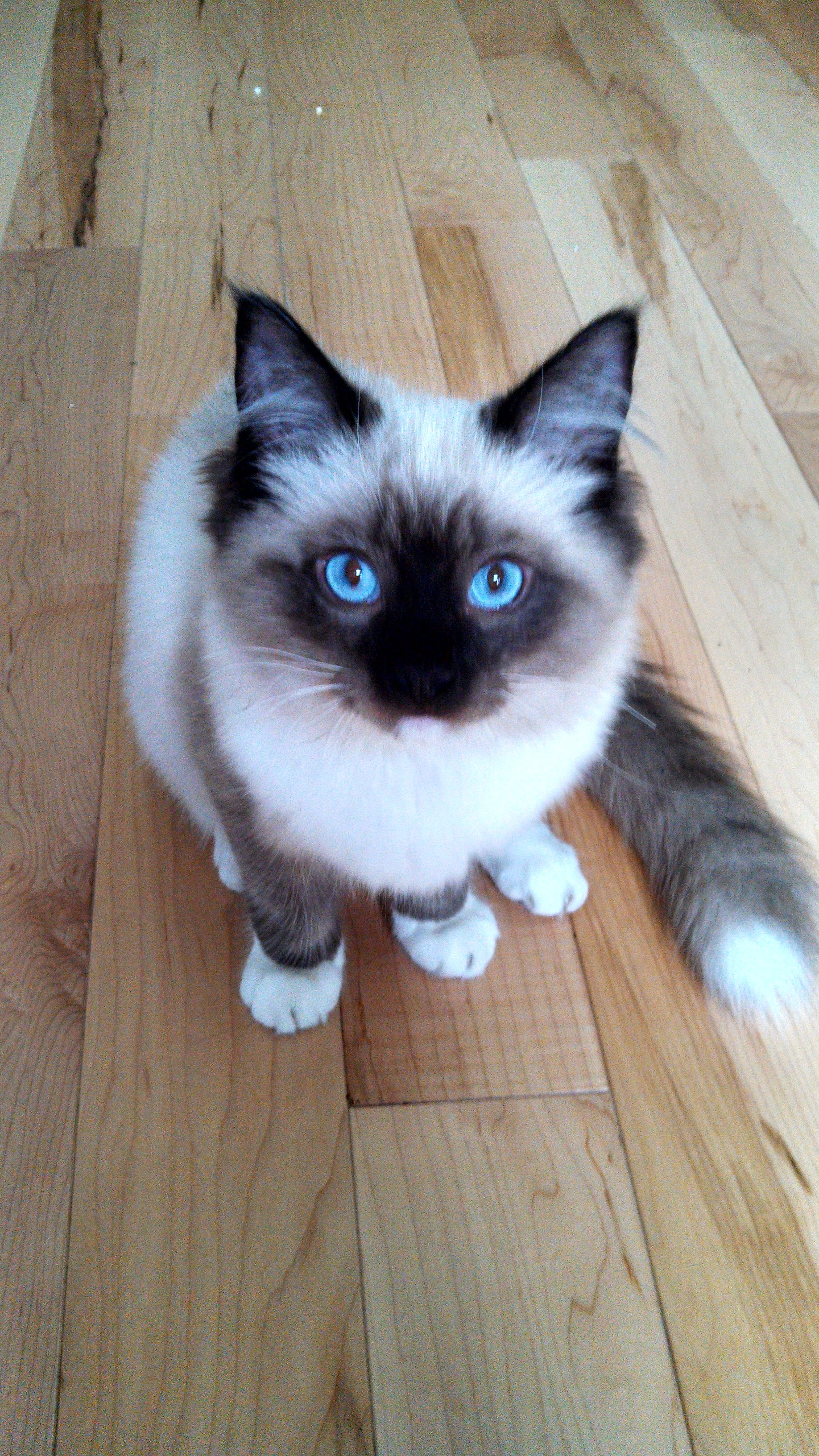 Theo's gorgeous eyes and coloring once more.5 month old Seal mitted male ragdoll with white tipped tail.