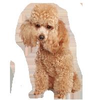 Breeds Popular Dog Breeds Toy Poodle Most Popular Dog Breeds
