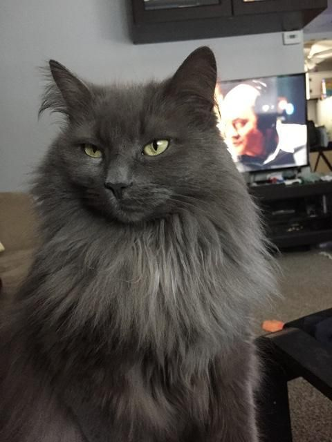 Nebelung Cat Catssky