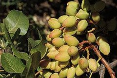 Pistachio Trees Will Be An Excellent Addition To Any Home Orchard You Receive 2 From Our Nursery With This Purchase As Both Male And Female