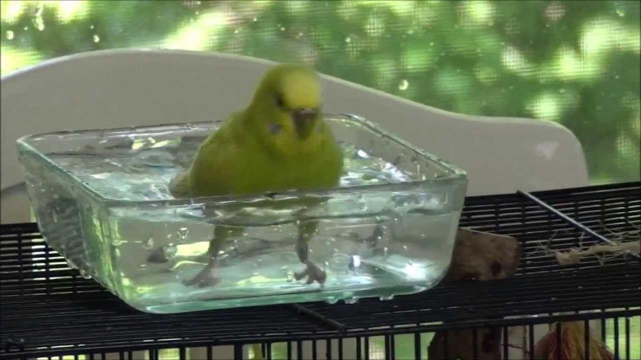 Budgie Taking A Bath Hd Quality