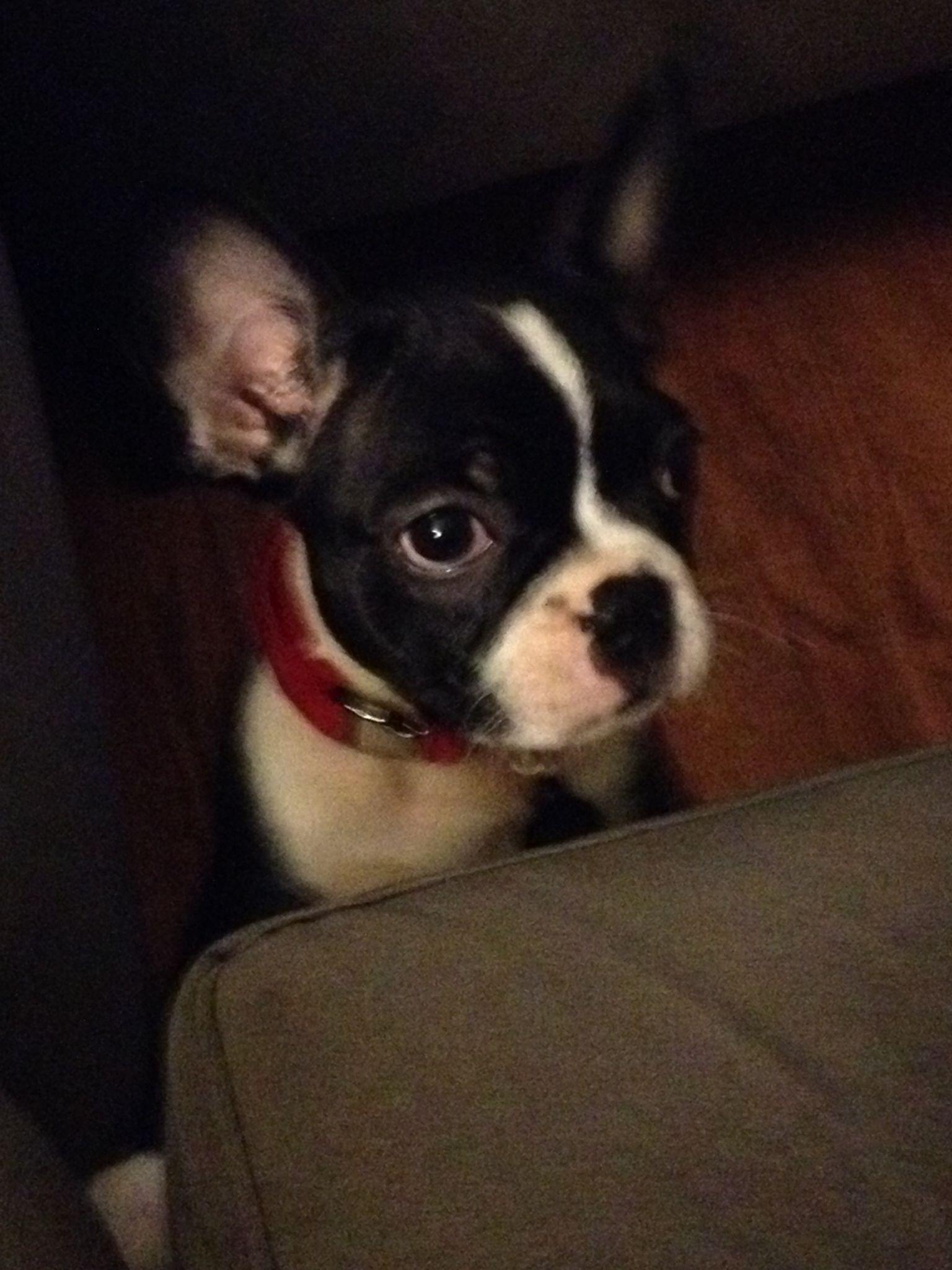 Minnie Boston Terrier