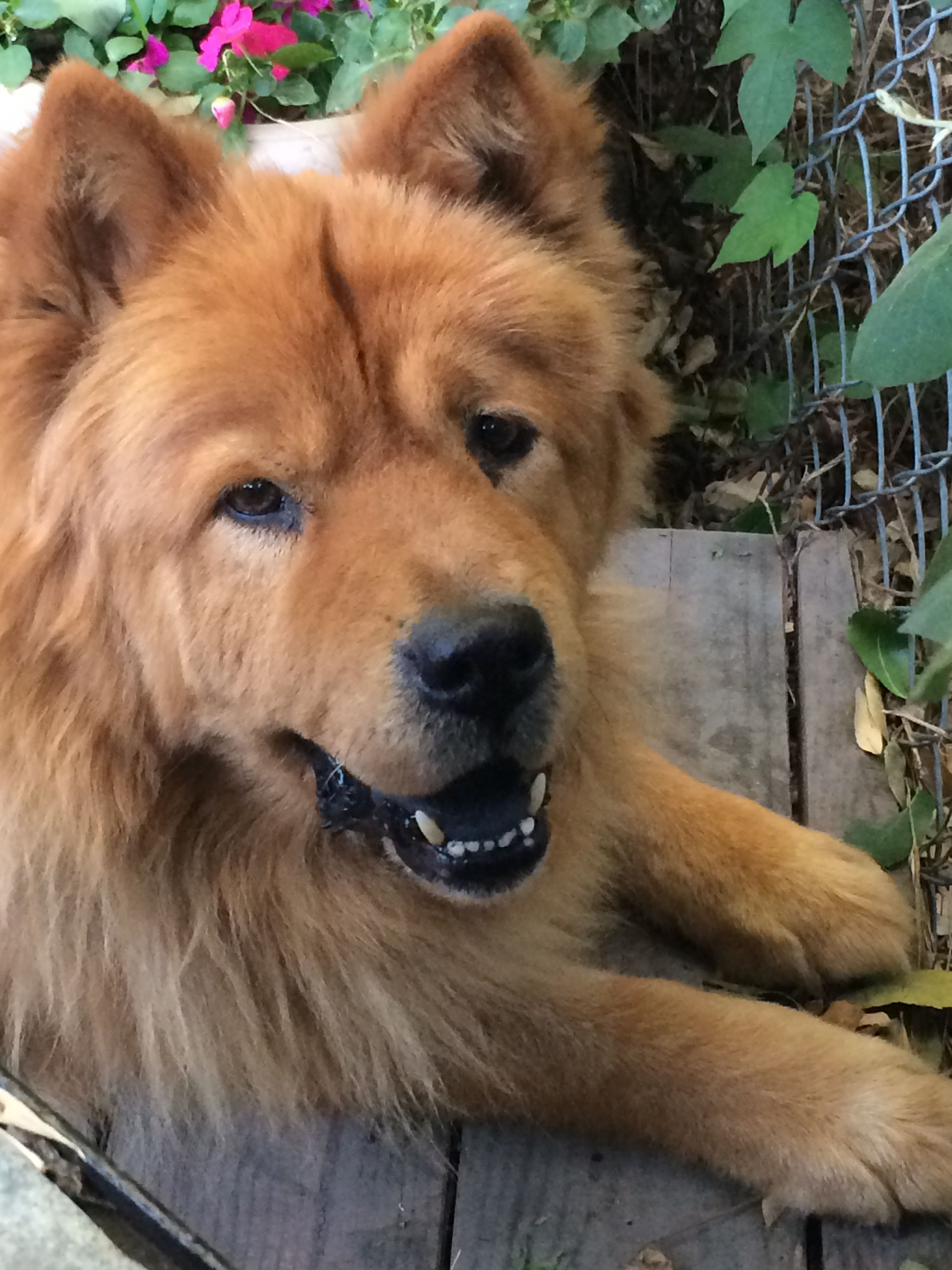 Clancey The Chow Chow Chow Dogs Corgi