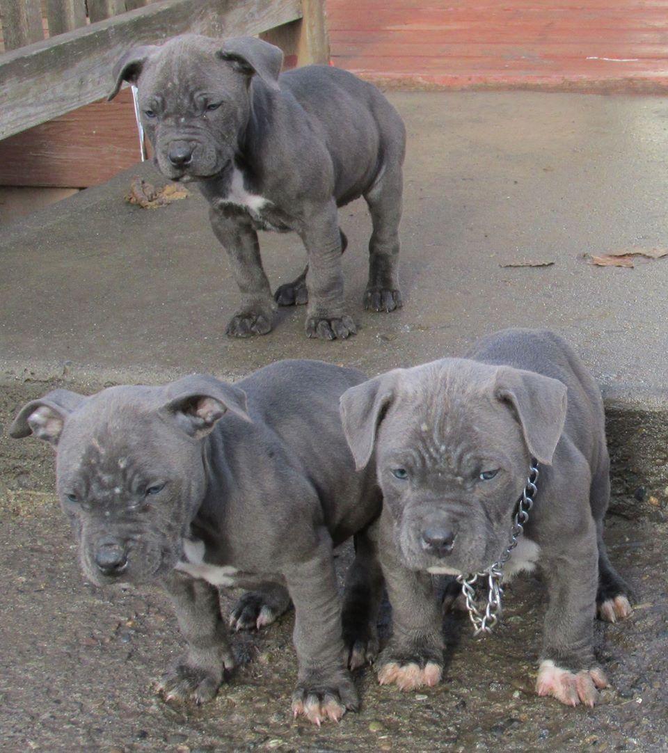 The Three Triplets My 7 Week Old Blue Nose Pitbulls 3 Pitbulls