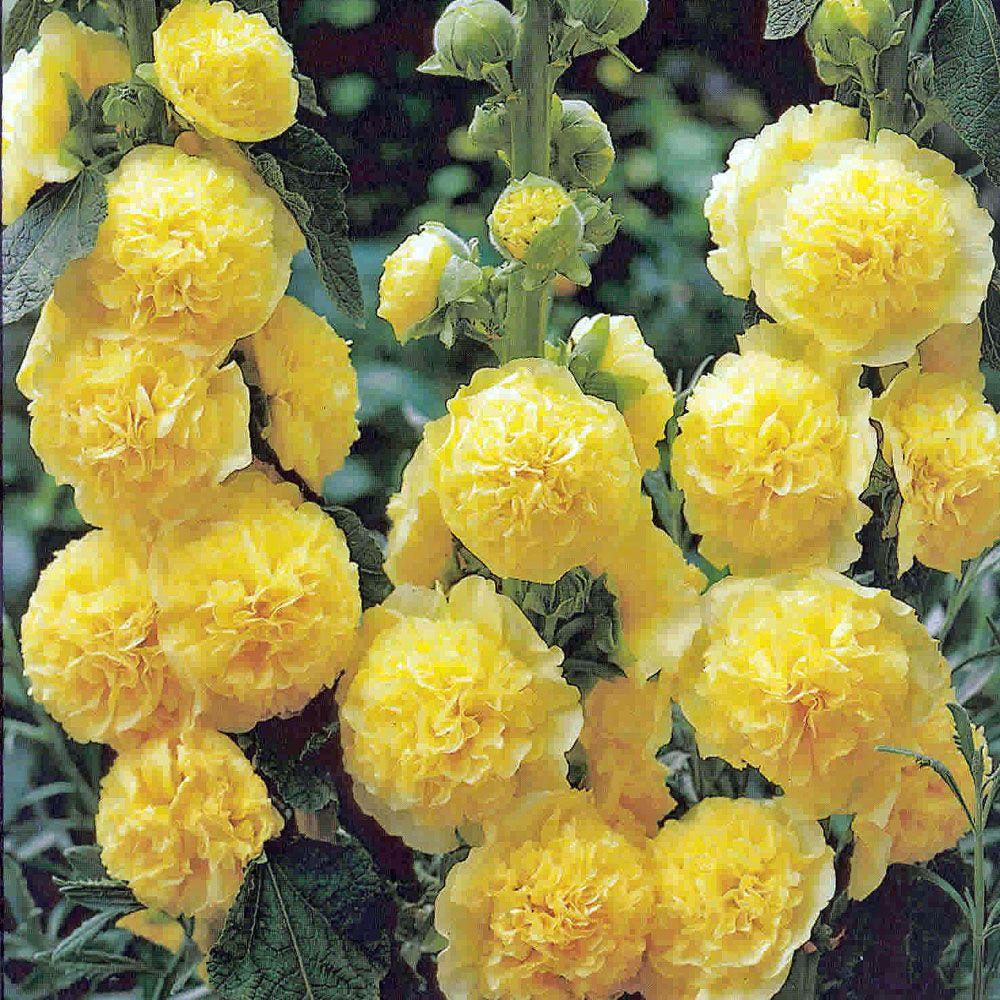 Alcea rosea 39 charters double yellow 39 grote pot for Alcea rosea