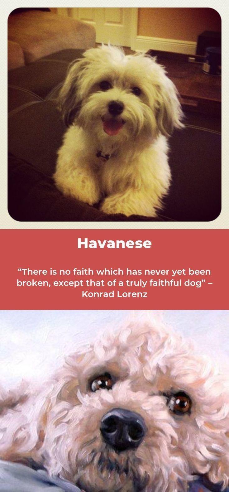 havaneselove havanese if you please havanesenewyork